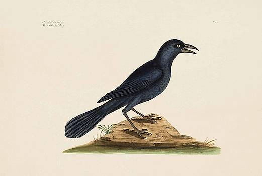 The Purple Jack Daw  The Natural History of Carolina  Florida  and the Bahama Islands  by Mark Catesby