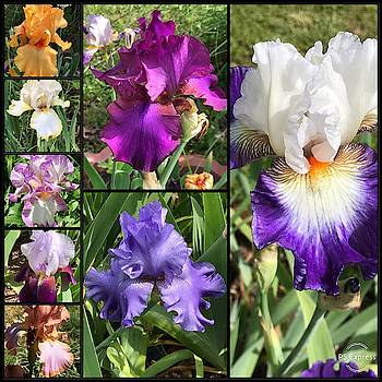 The Radiant Glorious Tall Bearded Iris  by Kathy Clark