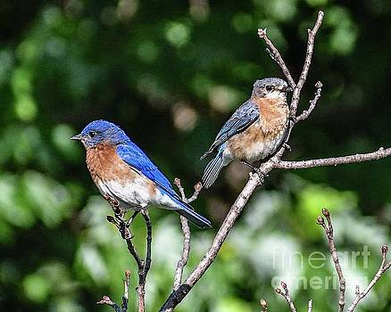 The Royal Eastern Bluebird Couple by Cindy Treger