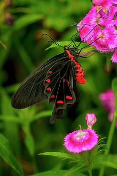The Semperi Swallowtail Butterfly by Cindy Lark Hartman