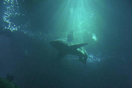 The Shark by Ernie Echols
