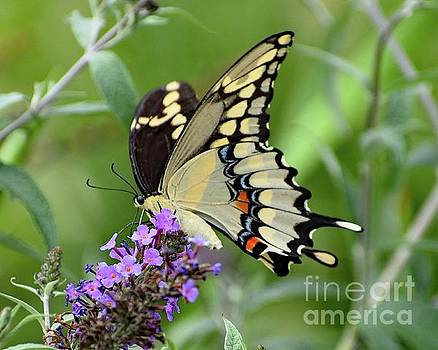 Cindy Treger - The Splendor of The Giant Swallowtail