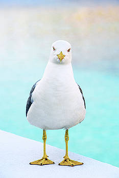 The Stare of the Seagull by Jonny Jelinek