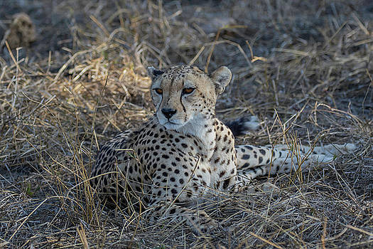 Cheetah in Repose by Thomas Kallmeyer