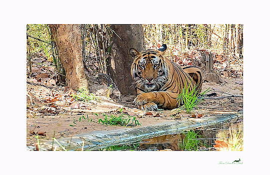 The Tiger's Perspective - I by From Dawn To Dusk Natural History Photography