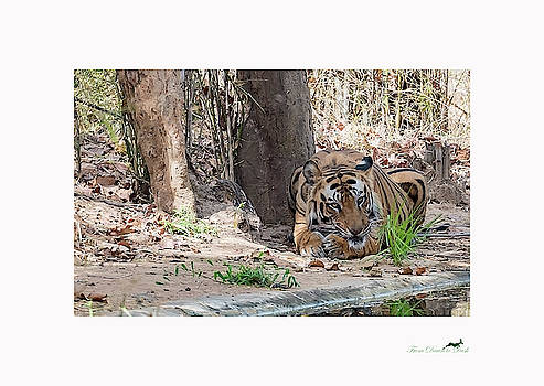 The Tiger's Perspective - III by From Dawn To Dusk Natural History Photography
