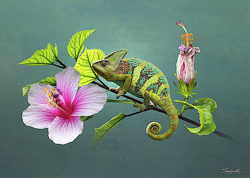 The Veiled Chameleon of Florida by M Spadecaller