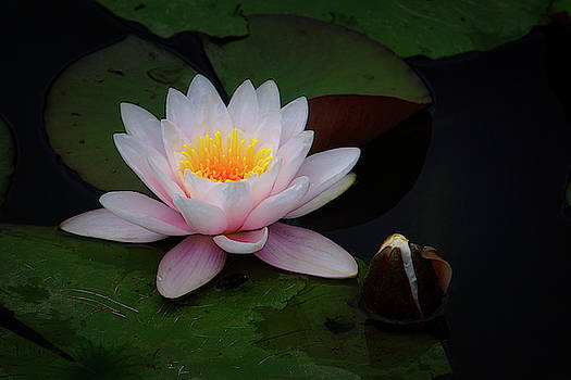 The Water Lily by Ernie Echols