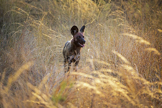 The Wild Dog of Africa by John Rodrigues