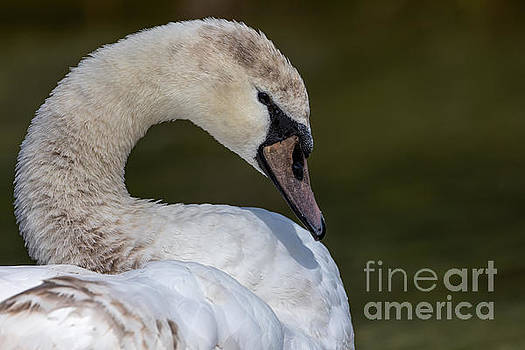 The Young and the Beautiful Swan by Alma Danison