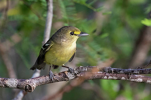 Thick-billed Vireo by Thomas Kallmeyer
