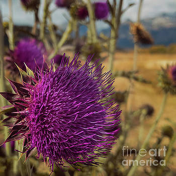 Thistle by Doug Sturgess