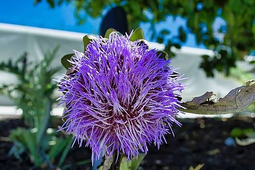 Thistle by Mark J Dunn