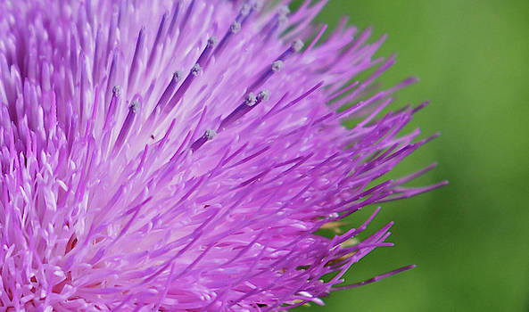 Thistle by Whispering Peaks Photography