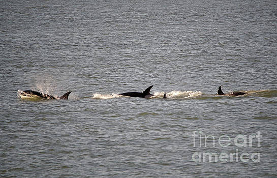 Three adult orcas and one calf by Jeff Swan