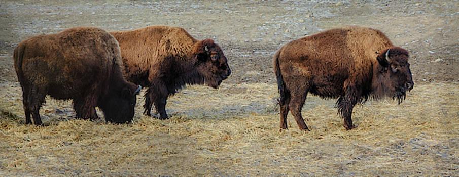 Three Bison by Eleanor Bortnick