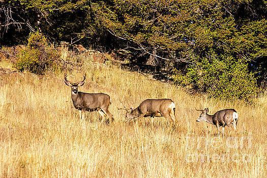 Steve Krull - Three Buck Mule Deer Autumn