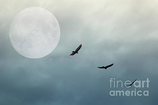 Three Hawks In The Moonlight by Tom York Images