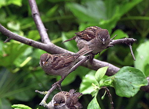 Three House Sparrows by Jeff Townsend