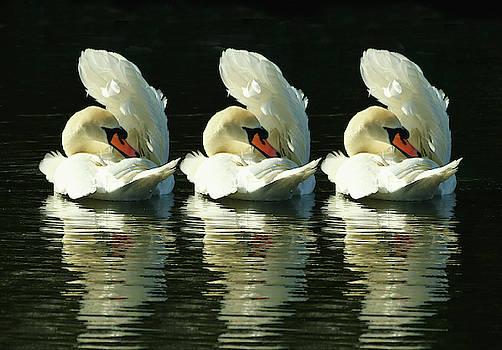 Three Swans Preening by Jeff Townsend