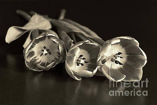 Three Tulips in Sepia by Lynn Bolt