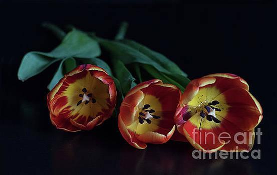 Three Tulips by Lynn Bolt