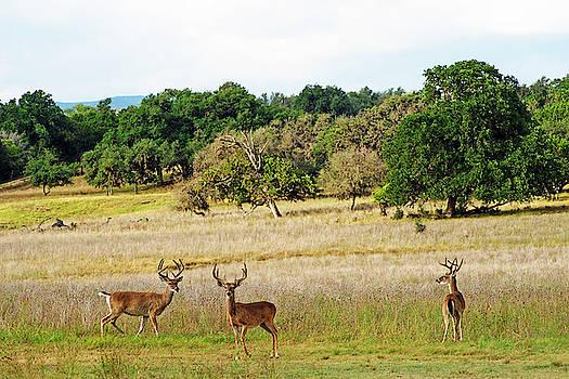 Three Velvet Bucks by Bill Morgenstern
