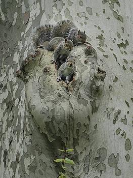 Three Young Squirrels by Cornelis Verwaal