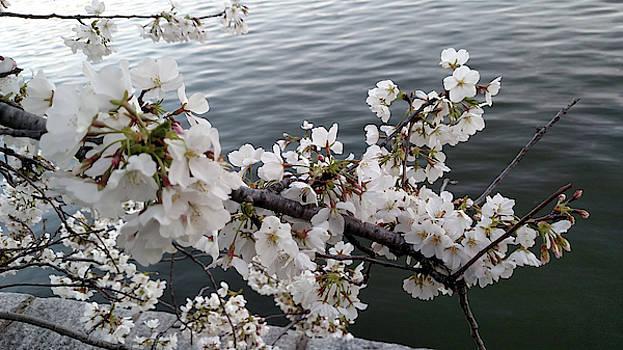 Tidal Basin Blossoms by John Eric Goines