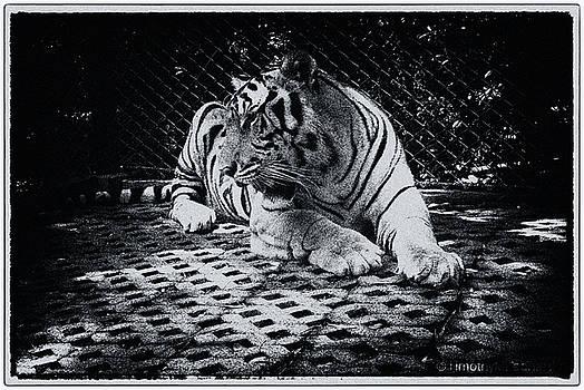 Tiger 3 by Timothy Leonard