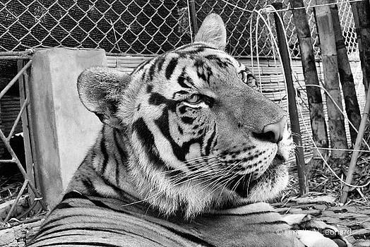 Tiger 4 by Timothy Leonard