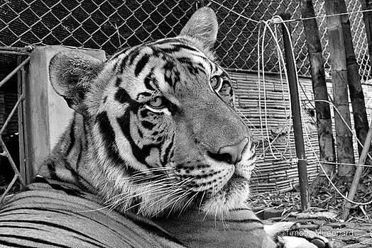 Tiger 5 by Timothy Leonard