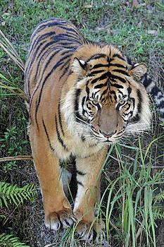 Tiger In Grass by Jennifer Robin
