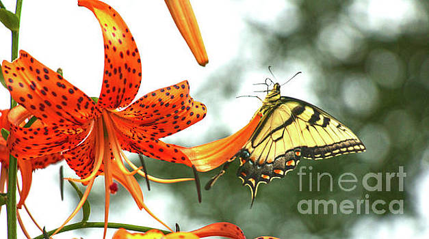 Tiger Lily And Butterfly by Sharon Mayhak