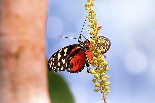 Tiger Longwing Butterfly by Jaroslav Buna