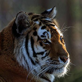 Tiger by Steev Stamford