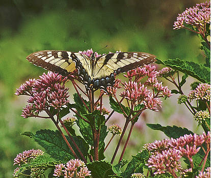 Tiger Swallowtail 2 by Janis Nussbaum Senungetuk