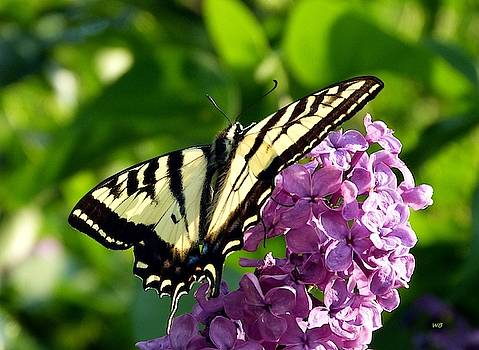 Tiger Swallowtail On A Lilac by Will Borden