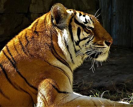 Tiger Tiger by Vijay Sharon Govender