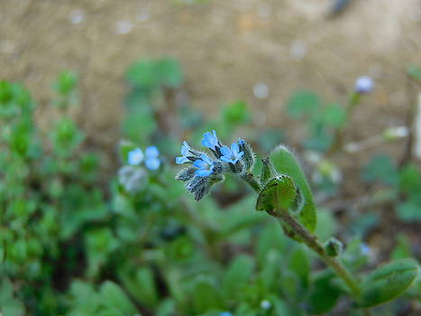 Tiny Blue Flowers by Abagail Wells