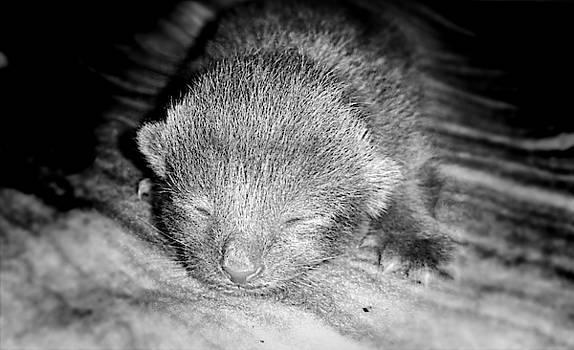 Tiny Gray Kitten  by Ally White