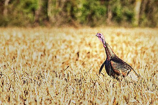 Tom Turkey by Bob Decker