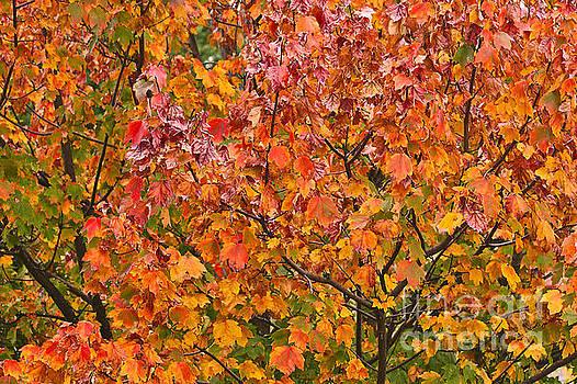 Tones Of Scarlet Maple  by Joy Watson