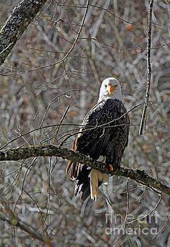 Topton Eagle by Jennifer Robin