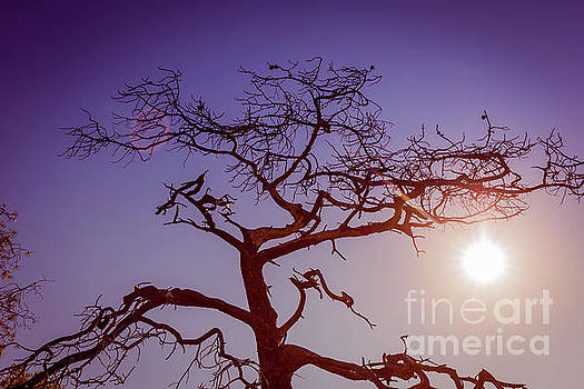 Torrey Pine Tree Sun Flare by Edward Fielding