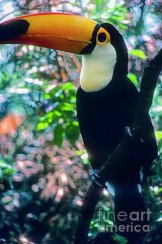 Bob Phillips - Toucan Portrait