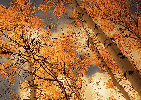 Towering Aspens by Don Schwartz
