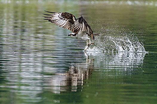 Osprey Catch Reflection by Joy McAdams