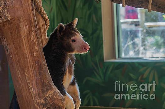 Tree Kangaroo by Linda Howes