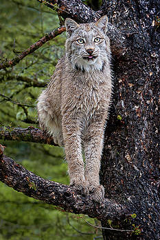Treed Lynx by Jerry Fornarotto